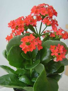 Kalanchoe blossfeldiana (Flaming Katy) is a bushy, evergreen, succulent perennial, up to feet cm) tall and up to feet cm). Cactus Flower, Bloom, Plants, Plant Species, Kalanchoe Blossfeldiana, Perennials, Blooming Succulents, Kalanchoe Flowers, Planting Succulents