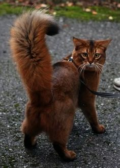 Check out the awesome face on this kittyand what a fabulous tail !