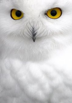 Snowy owl aka HEDWIG!!! Hm maybe it is just a regular owl and I am just obsessed with HARRY POTTER :)