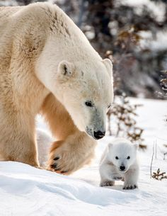 a polar bear! Wildlife photographer David Jenkins captures the tender moments between a mother polar bear and her three cubs in Wapusk National Park, Canada as they leave their den for the first time. Bear Photos, Bear Pictures, Cute Animal Pictures, Funny Pictures, Photo Ours, Cute Bear, Baby Polar Bears, Baby Pandas, Bear Cubs