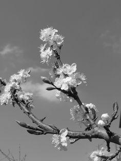 Appelbloesem. Zwart/wit fotografie.