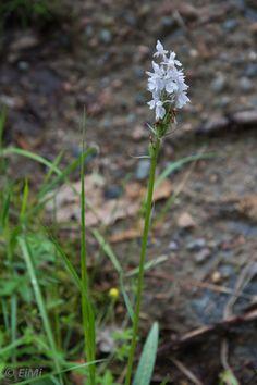 Valkolehdokki (Platanthera bifolia)