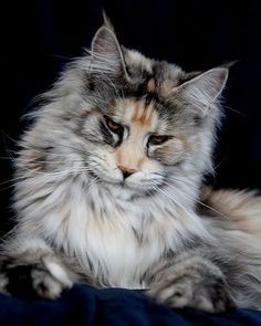 Summerplace Havanna femelle maine coon