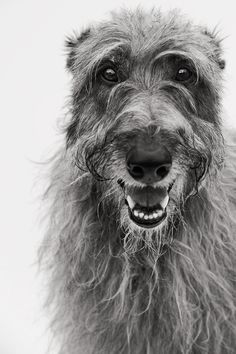 Now that's a beautiful smile! Deerhound 1 - Scottish Deerhound