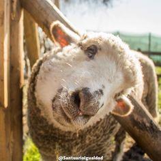 Estela es una oveja con un corazón noble y amigable. Cada vez que nos ve se acerca a nosotros por una caricia o un abrazo. Muchas veces interrumpimos un minuto nuestro trabajo para quedarnos junto a ella y nos deja el corazón lleno de alegría!. #santuarioanimal #animalsanctuary #sheep #lamb #animalfriends #animallovers  #animals #animalrights #animalliberation #veganofig #vegan #govegan #friends #love #cute #happyanimals #happiness #friendsnotfood #toocute #safe #pets #instachile #petsgram…