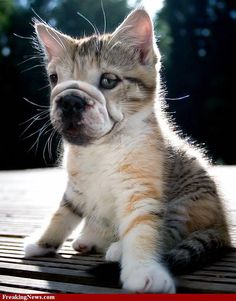 Bulldog Creatures | BaggyBulldogs