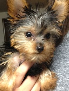 Yorkie Puppy coming to my house soon!
