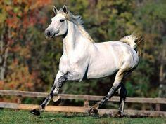 Temperamento inteligente, muy vigoroso, resistente y de buen carácter. Son muy elegantes y poseen un dinamismo libre y elástico, como si el caballo llevase amortiguadores en los cascos. Por: Juan Carlos Giménez Ramírez Los orígenes de la raza Shagya