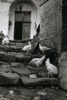 Esther Bubley - Matera, Italy, 1954 #birds #chickens .... I think its safe to call these free range