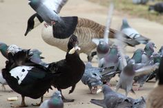 Feeding Frenzy, every bird for themselves