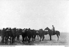 MAADI, EGYPT. 1915. AUSTRALIAN LIGHT HORSEMEN PREPARING THEIR HORSES FOR MANOEUVRES. War Horses, Cairo Egypt, Middle East, World War, Moose Art, Australia, History, Classic, Animals