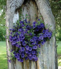 petunias planted in tree trunk