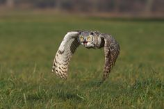 Great Horned Owl by Milan Zygmunt