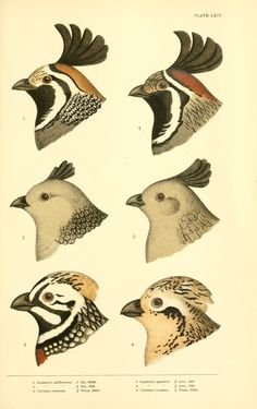 Lophortyx and Cyrtonyx. A history of North American birds v.3  Boston :Little, Brown,1905.  Biodiversitylibrary. Biodivlibrary. BHL. Biodiversity Heritage Library