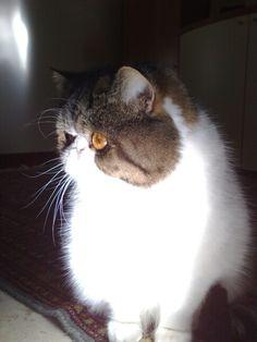 My exotic short hair cat Ugo!