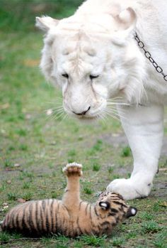 Tiger cub Sali with the king of Tiger Island, Mohan. Beautiful cats!