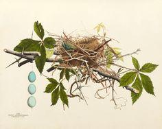 Black Billed Cuckoo Nest, Plate III by American Bird Nests | Art Posters