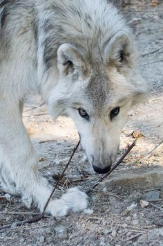 lonestray:  Romeo(at Wolf People)