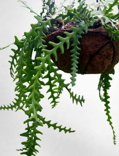 Fern leaf Cactus, Hard to find cati with amazing draping fern like foliage, easy to grow. $11.95, via Etsy.