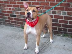 SAFE --- URGENT - Brooklyn Center    SPARKLE - A0994044   SPAYED FEMALE, TAN / WHITE, PIT BULL MIX, 1 yr  STRAY - STRAY WAIT, NO HOLD Reason STRAY   Intake condition NONE Intake Date 03/15/2014, From NY 11212, DueOut Date 03/18/2014 https://www.facebook.com/photo.php?fbid=772951889384359&set=a.617941078218775.1073741869.152876678058553&type=3&theater