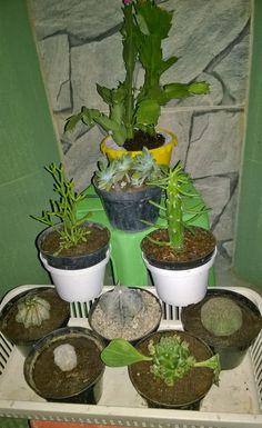 Novas aquisições para minha coleção de cactos e suculentas. (New acquisitions to my collection of cacti and succulents.)