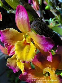 Digital Flower Pictures.com: Cane Orchid