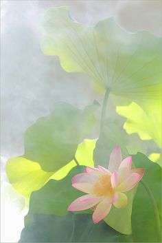 Pink Lotus Flower and backlit leaves: DD0A0232-2-1000 by Bahman Farzad, via Flickr