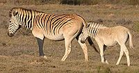 When a Quagga mare at Amsterdam Zoo died on 12 August 1883, it was not realised that she was the very last of her kind. The southern plains zebra had had a lively disposition and gathered in herds of 30-40 animals.  Henry, a Quaga-like foal born in 2005, is the result of a breeding program to bring them back.    bg