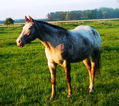 Original Bugsy is a 12 year old Appaloosa mare