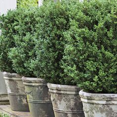Boxwoods: Perfect for Pots - Southern Living