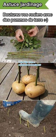 Une super astuce de jardinage est d'utiliser des pommes de terre pour faire bouturer les rosiers.
