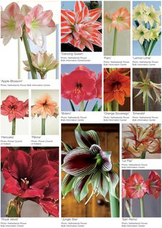"""Value and dramatic show make these tropical bulb flowers consumer favorites. name calling """"Amaryllis"""" and """"Barbados lily"""" are the common names for these striking trumpet-shaped flowers, which are known botanically as Hippeastrum(hip-ee-AS-trum). relatively speaking Hippeastrum is a member of theAmaryllidaceae family. Close relatives include Alstroemeria,Nerine, Narcissus, Eucharis, Vallotaand Clivia,… Continue reading"""