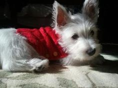 Kevin Bacon the West Highland Terrier by deann