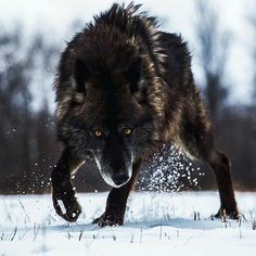 Black Wolf in Winter snow Más Wolf Photos, Wolf Pictures, Nature Photos, Wolf Spirit, My Spirit Animal, Beautiful Creatures, Animals Beautiful, Animals And Pets, Cute Animals