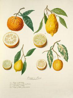 Pierre Francois Ledoulx -- 'Oranges et Limons' -- Pierre François Ledoulx -- Artists -- RHS Prints
