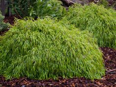 Acacia Fettucini (photo by PMA) Home Landscaping, Front Yard Landscaping, Acacia, Garden Art, Garden Design, Garden Ideas, Australian Native Garden, Drought Tolerant, Native Plants