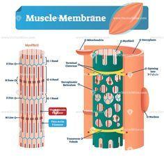 Muscle membrane anatomical vector illustration diagram