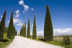 How to Prune Italian Cypress Trees