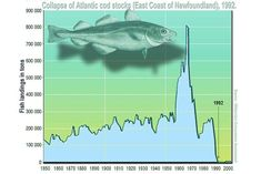 Overfishing of the Atlantic cod off the coast of America led to a collapse in the numbers of this species. Fish stocks fell below the reproductive replacement and numbers plummeted. Ap Environmental Science, Physical Science, Atlantic Cod, Creative Commons Images, Best Superfoods, College Board, Urban Architecture, Kids Playing, Ocean
