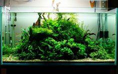 Takashi Amano, Green Lettuce, Paludarium, Tanked Aquariums, Fish Tanks, Aquatic Plants, Aquascaping, Planted Aquarium, Freshwater Aquarium