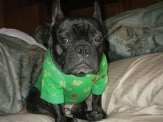 French Bulldog Claude all dressed up for St.Patricks day.
