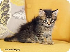 Marietta, GA - Domestic Mediumhair. Meet Bella, a kitten for adoption. http://www.adoptapet.com/pet/13634048-marietta-georgia-kitten