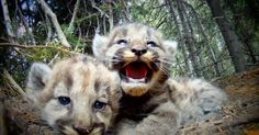 Beautiful footage gives us a close look at the intimate family life of a wild female cougar and her cubs as they struggle to survive.