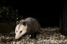 Virginia Opossum (Didelphis virginiana) in backyard at night, Santa Cruz, Monterey Bay, California