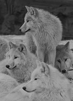Wolf Photos, Wolf Pictures, Animal Pictures, Wolf Spirit, Spirit Animal, Beautiful Creatures, Animals Beautiful, Tier Wolf, Animals And Pets