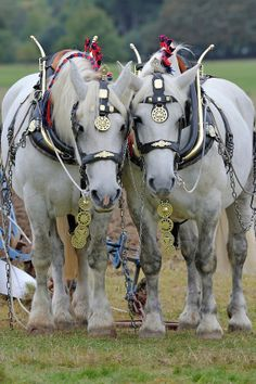 1297 best horses lovely drafters images on pinterest horses rh pinterest com Draft Horse Harness Parts Diagram Horse Pulling Harness