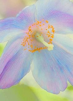 Blue Poppy with colors