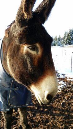 Rio the Mammoth donkey
