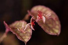 Lepanthes pretiosa | Piotr Tuczapski | Flickr Houseplants, Orchids, Warm, Indoor House Plants, Potted Plants, Orchid