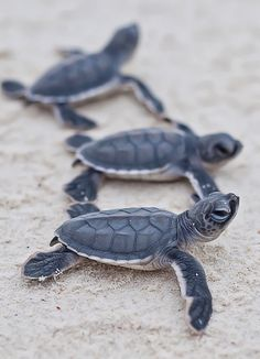 Baby turtles - great to try and catch a boil, when they hatch or an excavation of the nest after the boil